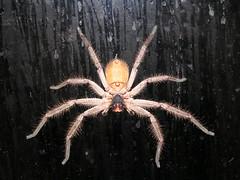 european garden spider(0.0), arthropod(1.0), animal(1.0), spider(1.0), invertebrate(1.0), macro photography(1.0), fauna(1.0), tarantula(1.0),