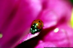 ladybug on a magenta zinnia petal    MG 2829