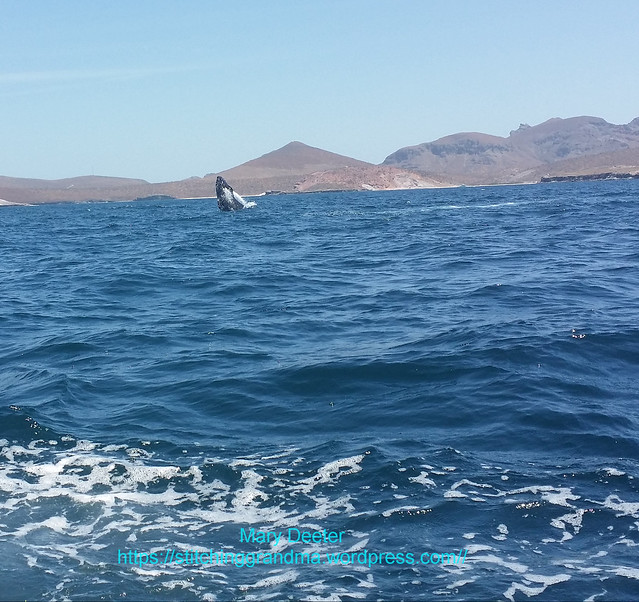 humpback whale La Paz Mexico breaching