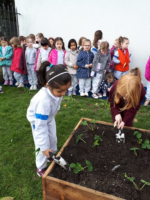 Strawberry planting junior Infants