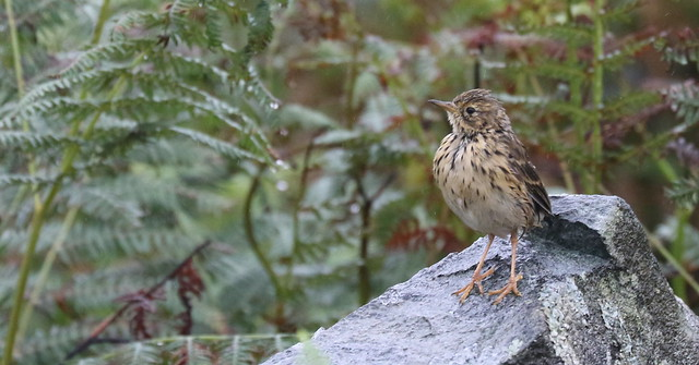 Meadow Pipit Mipit in, Canon EOS 7D MARK II, Canon EF 70-300mm f/4-5.6L IS USM
