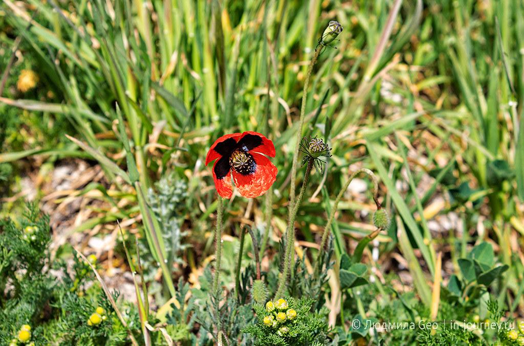 мак цветет в апреле на территории древнего Херсонеса