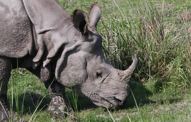 Indian Rhino at  Kazirangh (28)