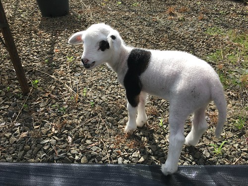 Dot the Lamb, 10 Days Old