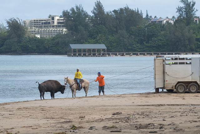 Hanalei Bay bison rescue