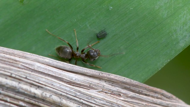 Small black ant (Lasius nigra) eating honeydew from aphid
