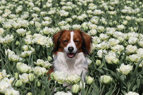 Yerke in the tulips