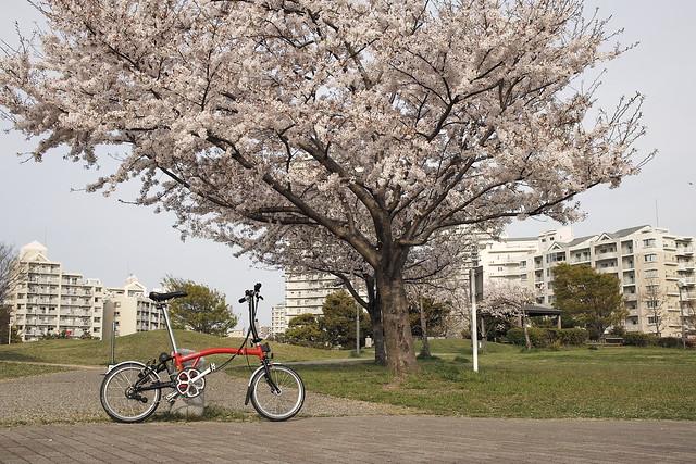 sakura & brompton