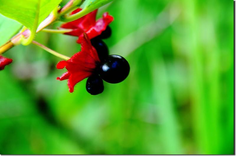 Bracted Honeysuckle(Twinberry honeysuckle) (2)