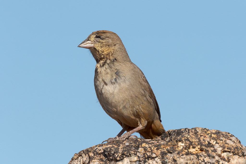 A canyon towhee is missing one of its eyes at Balanced Rock in McDowell Sonoran Preserve