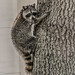 Racoon2 (1 of 1) by andrewroberts206