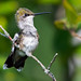 Female Ruby-throated Hummingbird by Brian E Kushner
