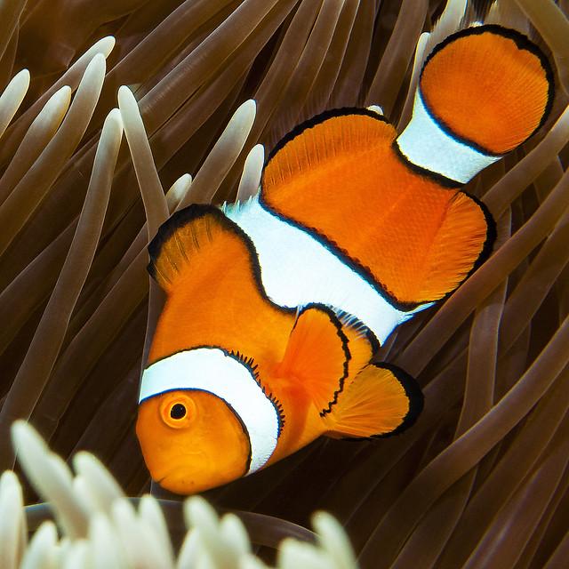Clown fish, Nikon D90, AF-S Micro Nikkor 60mm f/2.8G ED
