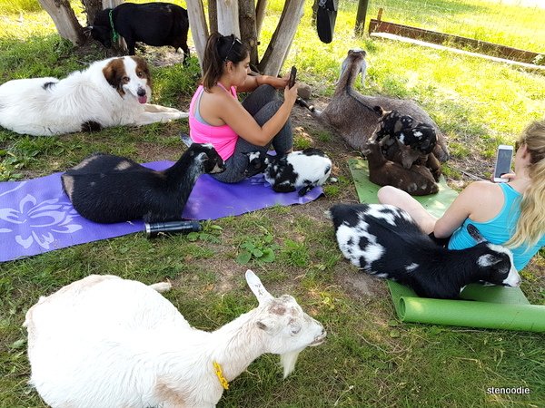 Haute goat yoga session