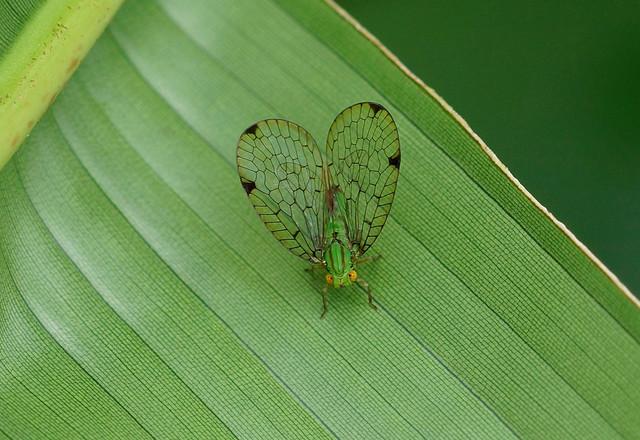 Net-Winged Planthopper--- Nogodinidae