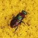 Ruby-tailed Wasp - Hedychrum niemelai