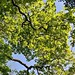Oak Leaves on a May Morning