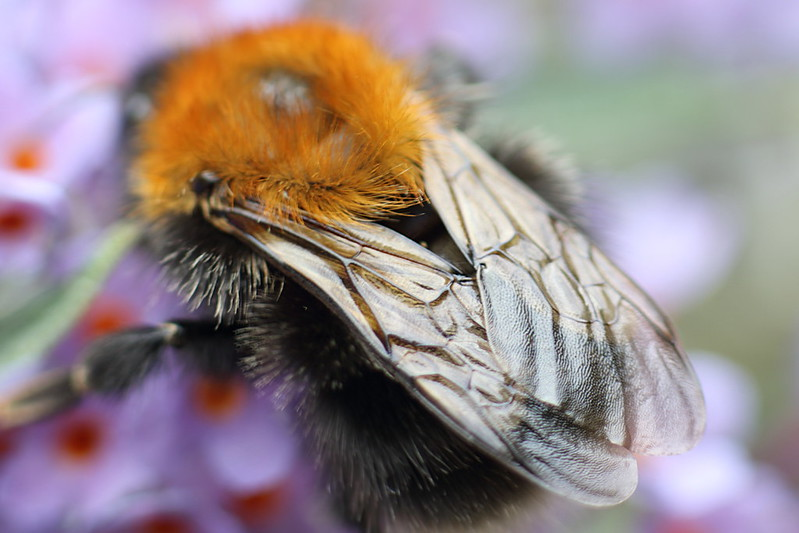 White Tailed Bumblebee