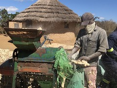 Masimba Mawire collects the bare cobs after the grain has been removed