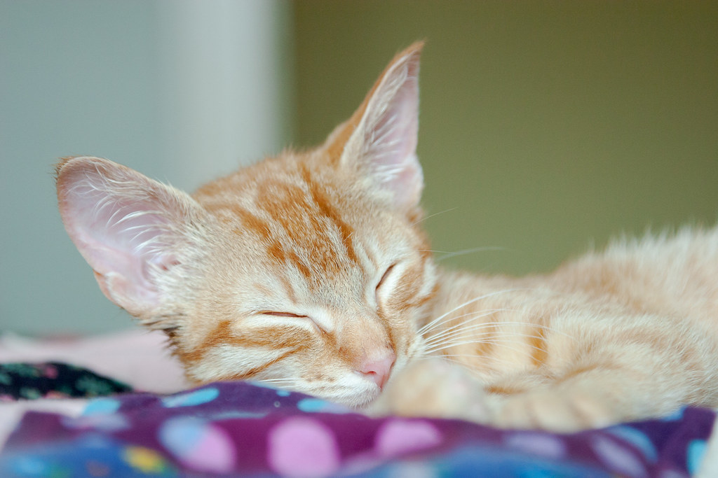 Our cat Sam sleeps as a kitten in 2007 on a colorful quilt