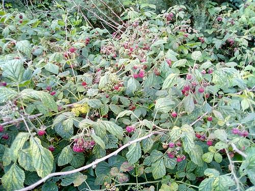 wild raspberries Jul 18