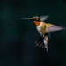 Ruby-throated hummingbird by Bob Gilley