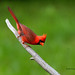 Cardinal rouge - Northern Cardinal (male) by Nick288