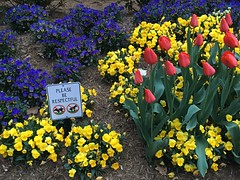 Spring flowers with anti-dog poop sign, 23rd Street NW, Washington, D.C.