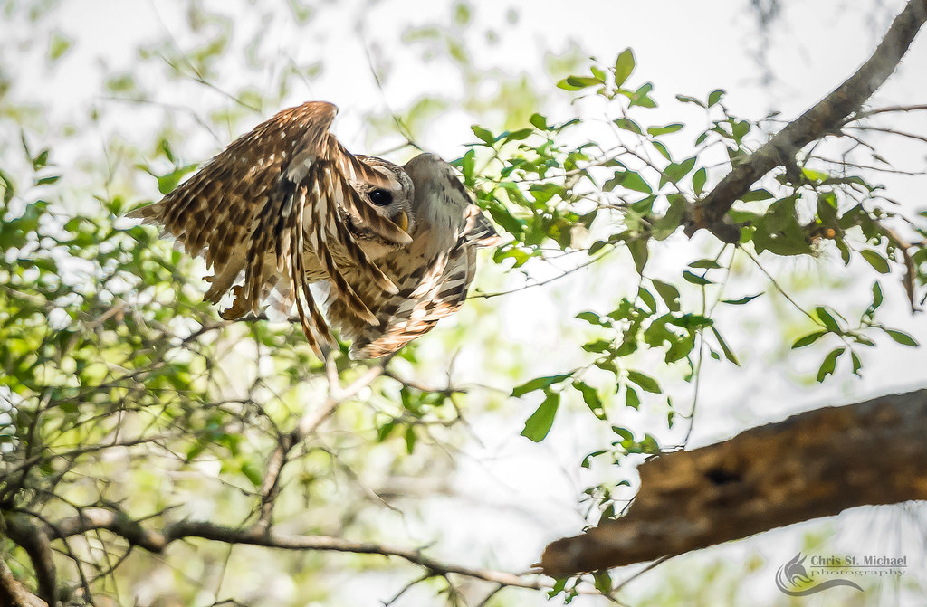 Barred Owl- in flight