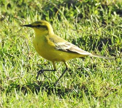 Yellow Wagtail on Green Grass
