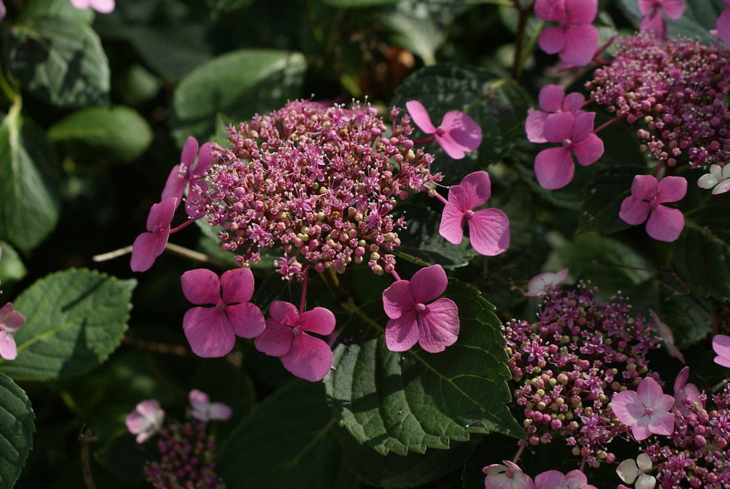 Hortensias roses du Flevopark à Amsterdam.