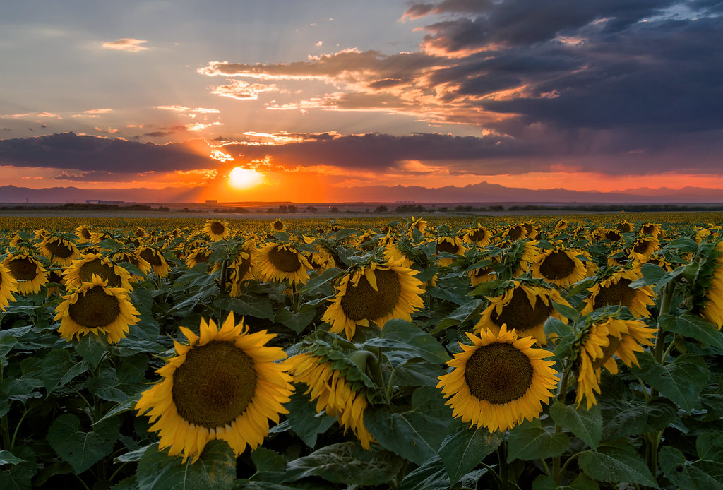 Lovely Summer Sunset In The Sunflower Field A Picture I