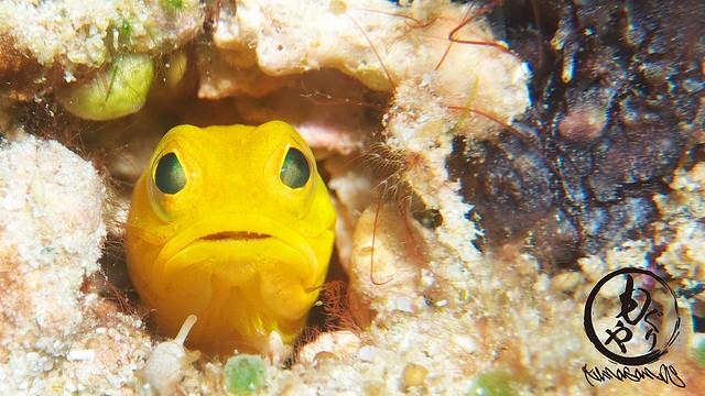 イエロージョーフィッシュ幼魚ちゃんはかなり成長してました。。