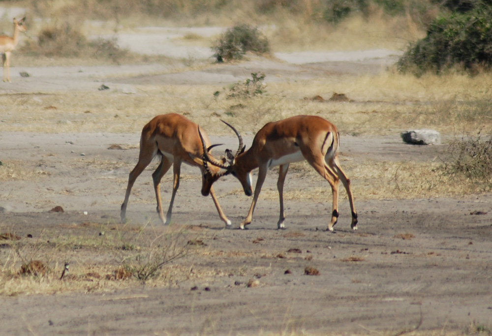african safari animals - impalas fighting