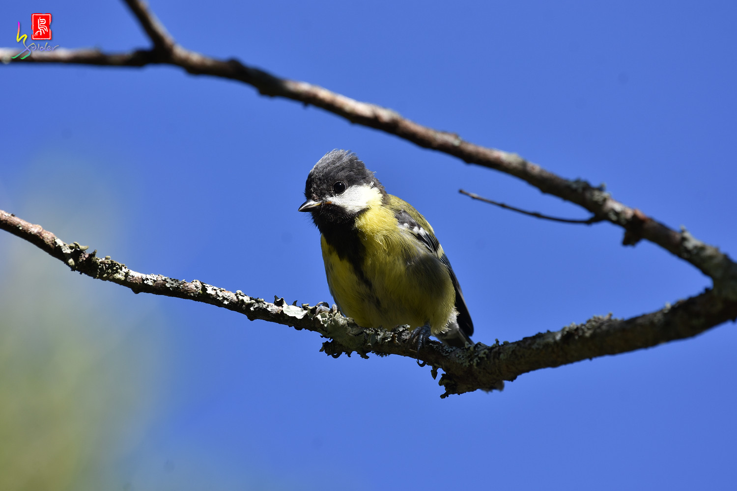 Green-backed_Tit_0494