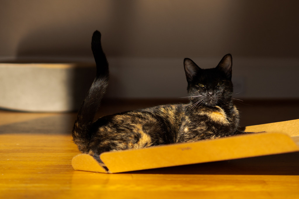 Our tortoiseshell cat Trixie relaxes on the lid of a cardboard box, half in light and half in shadow, with her tail sticking up