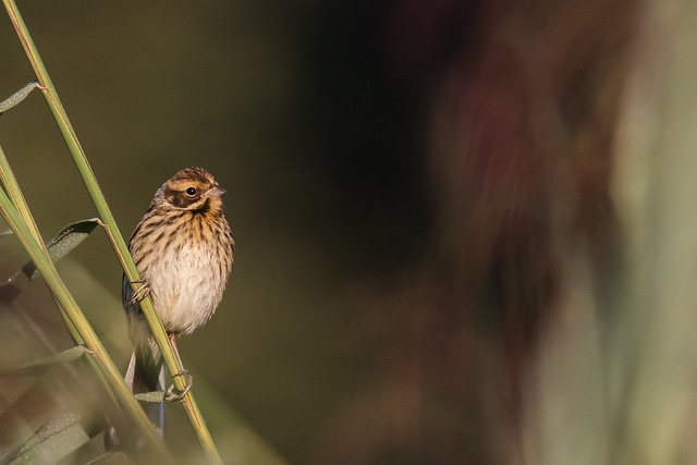 Reed bird