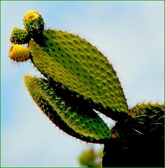 Garden cactus Pinya de, Sony DSC-H20