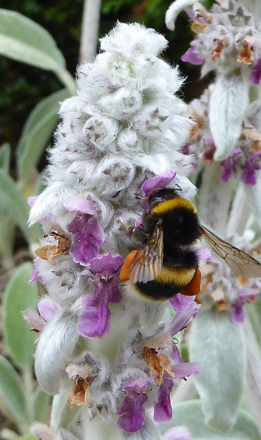Bumblebee on Lamb's Ear