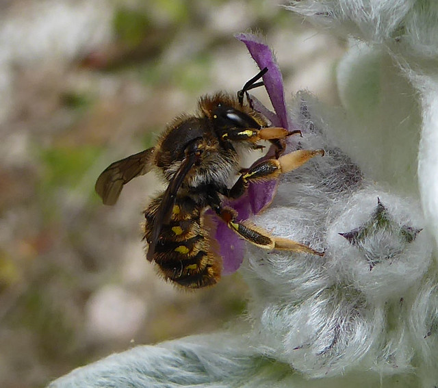 Possible female anthidium