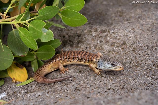 Shasta Alligator Lizard Elgaria, Nikon D810, AF Micro-Nikkor 60mm f/2.8D
