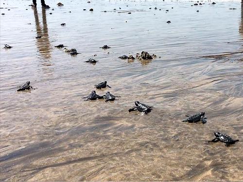 वर्सोवा बीच पर ओलिव रिडले कछुआ का पुनः आगमन
