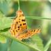 Comma Butterfly female
