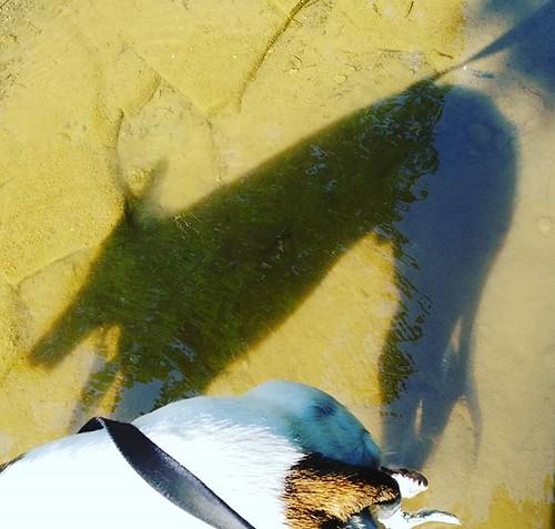 The dee-oh-gee's shadow on the creek bottom #Cane #dogsofinstagram #greyhound #greyhoundsofinstagram #hunterscreekpark #wny #eastaurora #nature #hiking #stream #runningwater