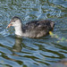 Fluffy coot chick