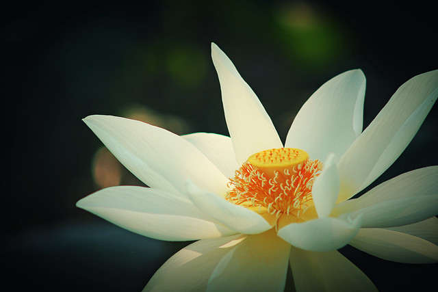 夏日荷花lotus, Canon EOS M5, Canon EF 28-70mm f/3.5-4.5