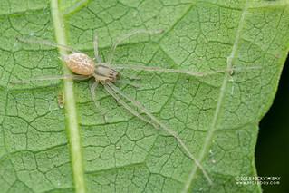 Sac spider (Cheiracanthium cf. leucophaeum) - DSC_6895