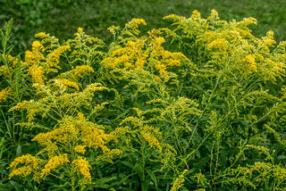 Goldenrod | by Stephen Downes