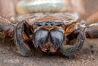 Huntsman spider (Damastes sp.) - DSC_7478