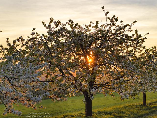 Cherry blossom at Walberla 2018-3